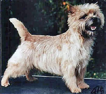 Cairn Terrier Viking Flame