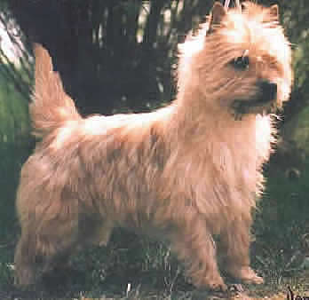 Cairn Terrier Golden Brush