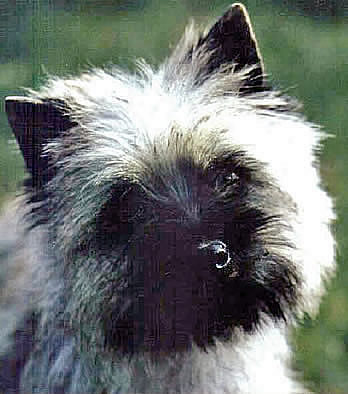 Cairn Terrier Quicksilver