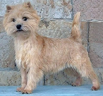 Cairn Terrier Secret Melody