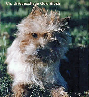 Cairn Terrier Champion Allerleirauh Gold Brush