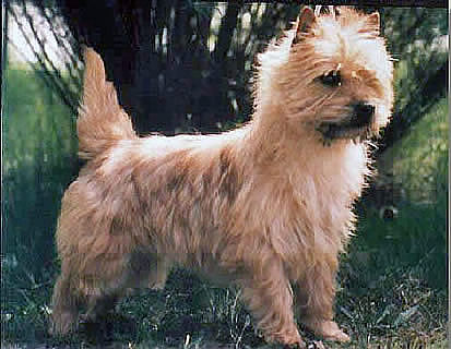 Cairn Terrier Gold Brush